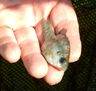 A wee Bream
