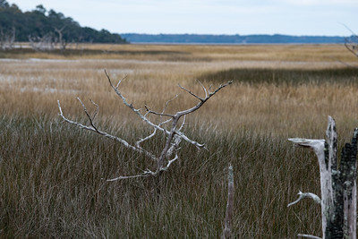 As Sea level rises and the salinity of the water increases some trees do not survive.
