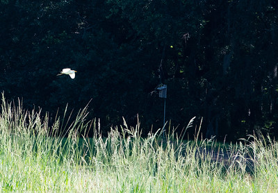 Cattle Egret in flight.