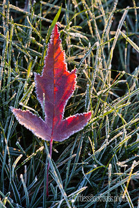 Red Amur Maple