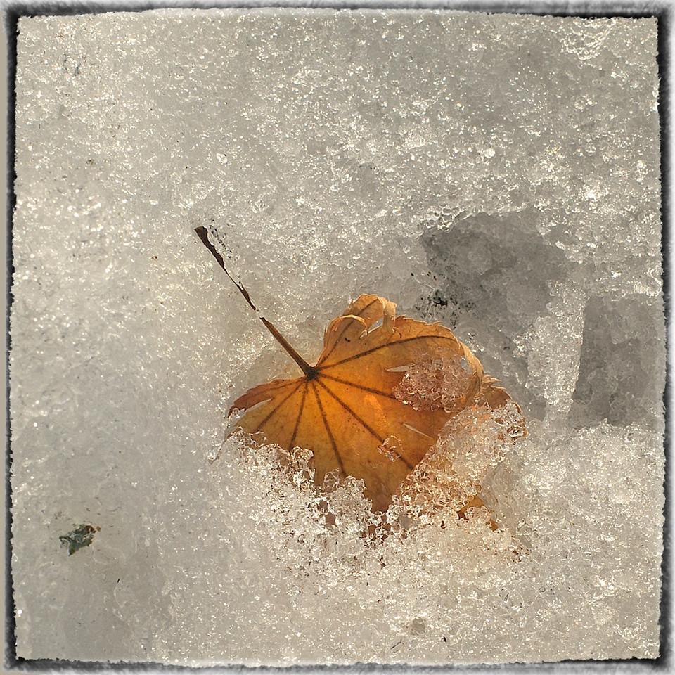 Leaves in Snow