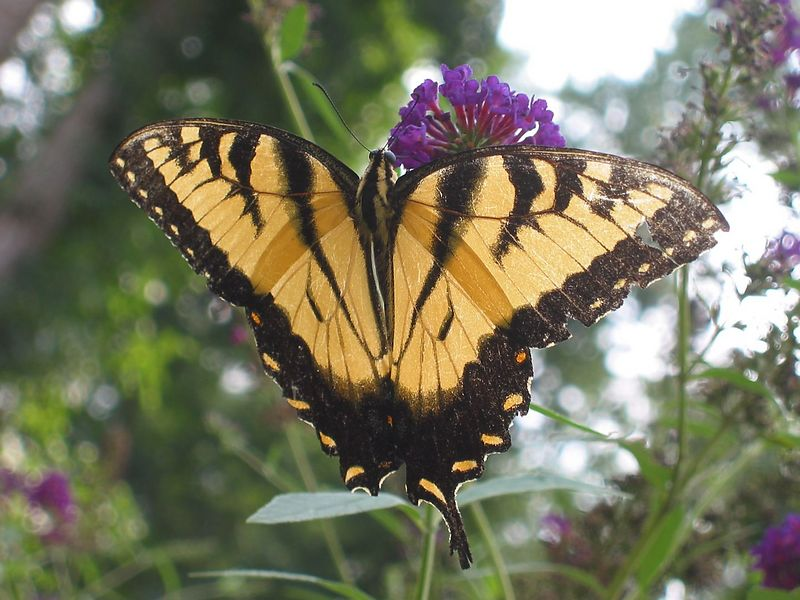 00aFavorite Eastern Tiger Swallowtail (Papilio glaucus) male (yellow and black) butterfly on my butterfly bush, Aug03