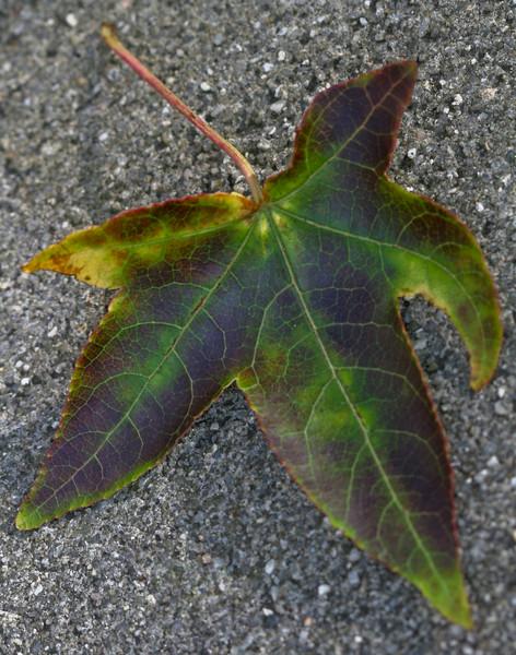 20071031 Fallen autumn leave, Dilip's driveway (310p)