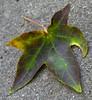 20071031 Fallen autumn leave, Dilip's driveway (308p)