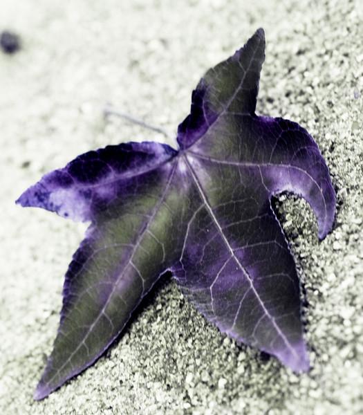 20071031 Fallen autumn leave, Dilip's driveway (310p) [IR]