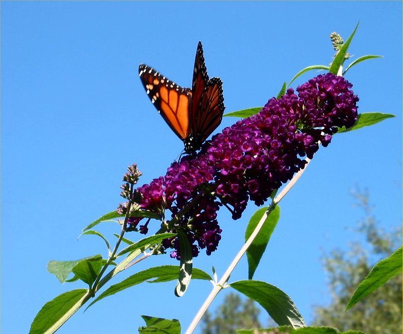 Monarch (Danaus plexippus) butterfly on my butterfly bush