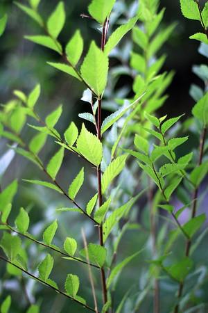 Radiant birch leaves