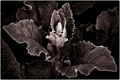 Common Burdock Leaves