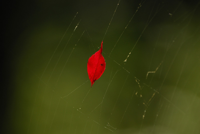Leaf in Web