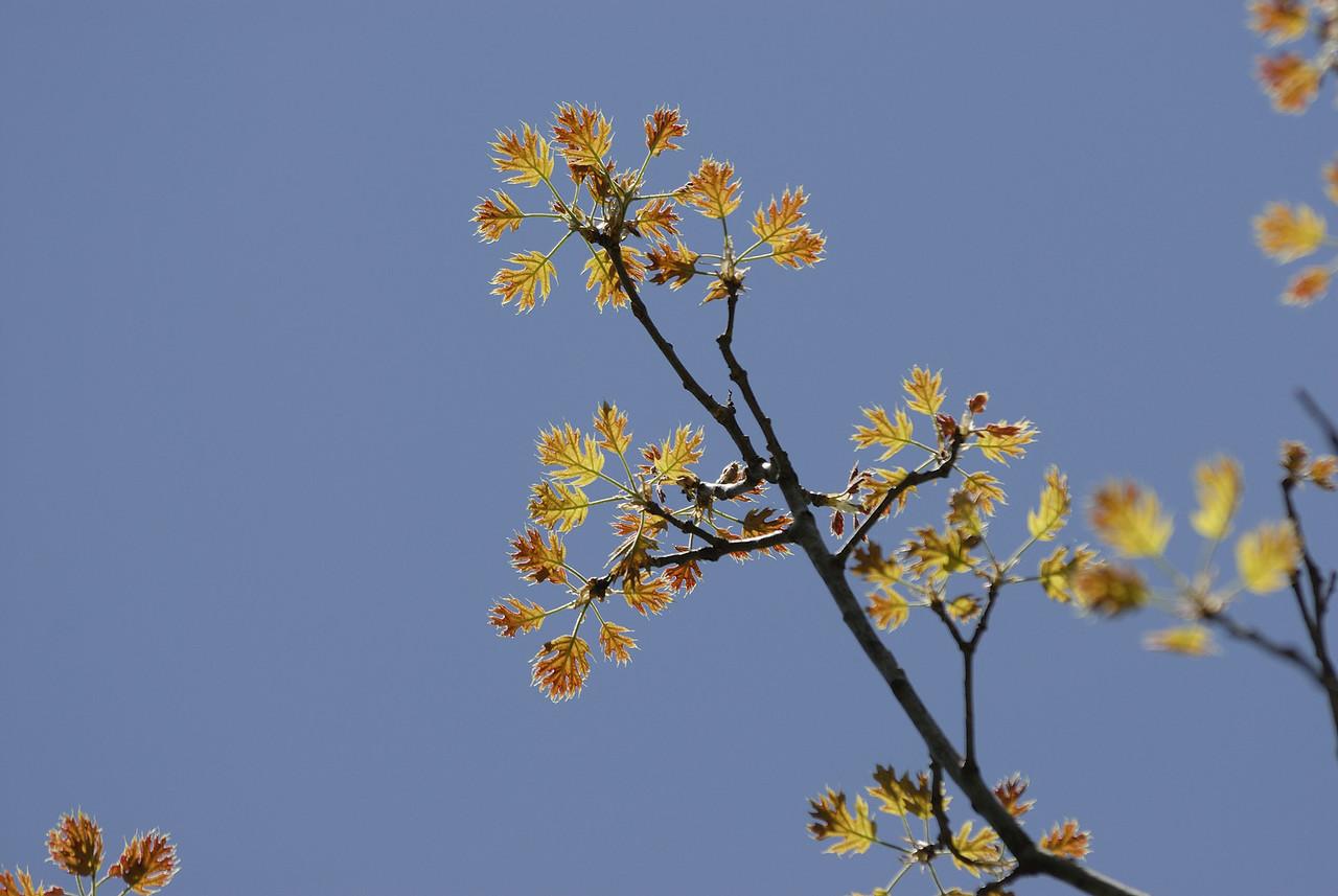 New Oak Leaves (1)