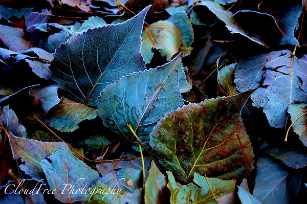 Frosty leaves at dawn