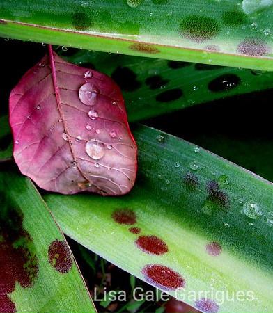 Crying Leaf