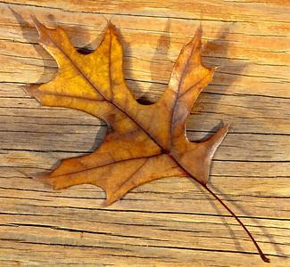 Fall Leaves  11 08 09  020 - Edit - Edit