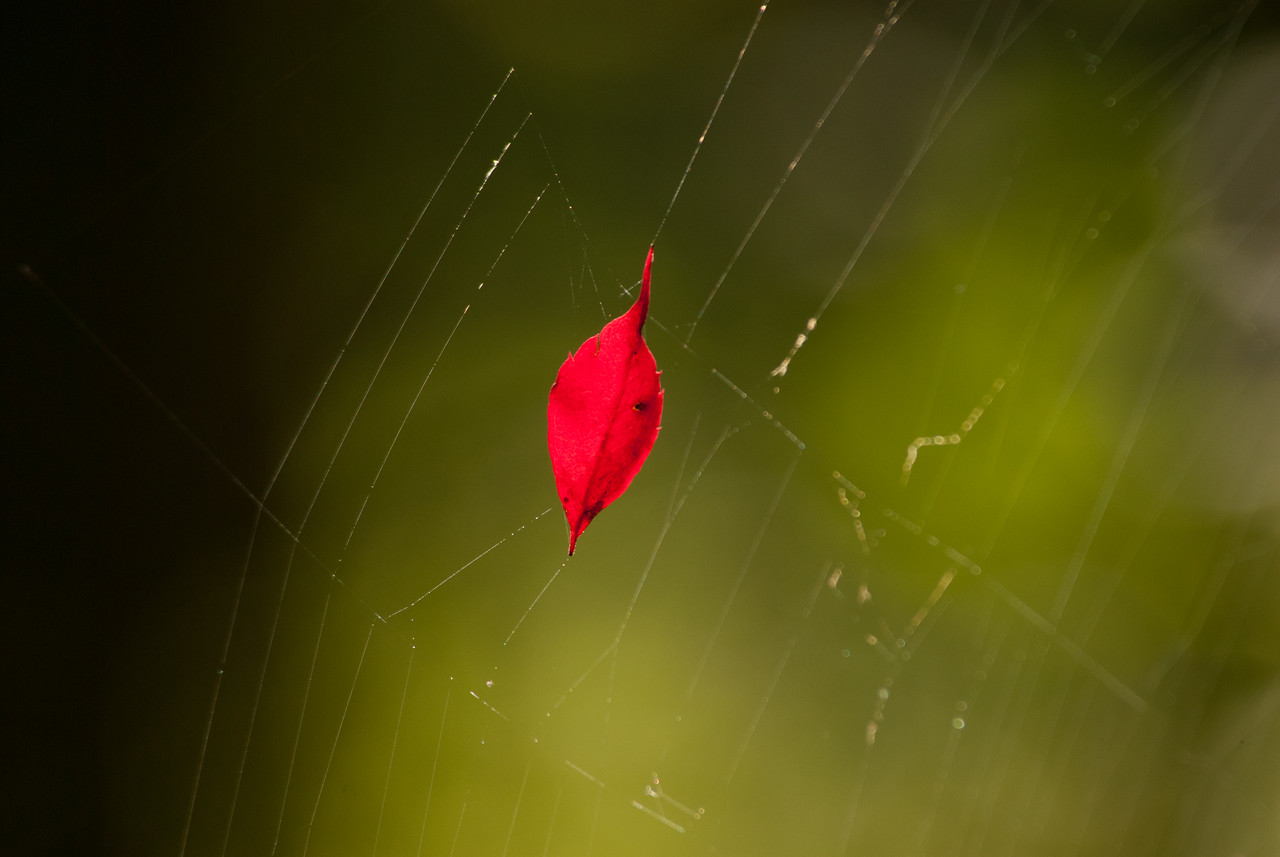 Leaf in Web
