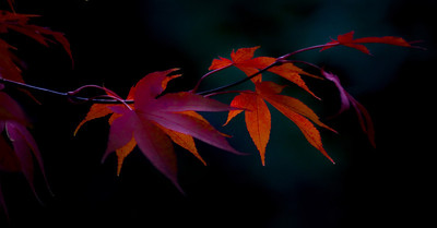 Acer, red, Richard Donkin