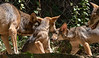 Endangered Red Wolves:  Dad, 2 male pups, and the Mom
