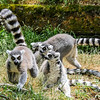 Ring-tailed lemurs are strepsirrhine primates in the Lemuradae family, and are native to Madagascar. I assumed that their big, bright eyes meant they must hunt/feed at night, but they are actually diurnal, active only during the day. They are omnivores. They are also VERY VERY cool!