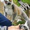 We were each given a few grapes and slices of corn on the cob to feed the lemurs.  They were amazingly gentle when taking the treats - careful not to nip our fingers/hands.