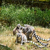 Lemurs are cleary very social, and relaxed together, preening each and seeming to take comfort from the close contact.