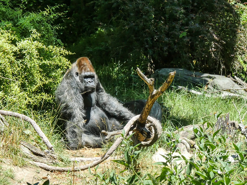 "Woodland Park Zoo does an amazing job of trying to provide nice habitats for their animals, even older ""retired"" ones like this old male gorilla."