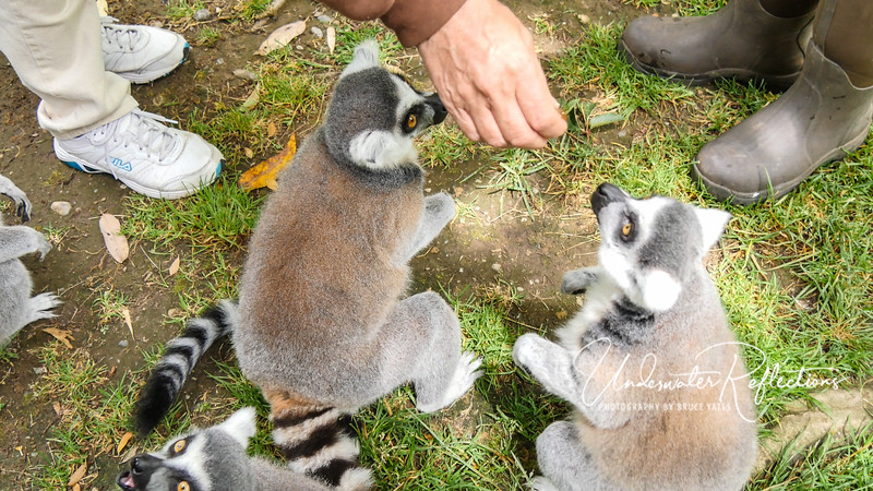 "The lemurs also seemed quite ""polite,"" in that they did not try to crowd each other out for food.   They just waited to see if anything was coming their way."