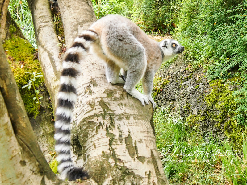 This photo and the next one, while out of focus, show this lemur jumping off the tree and twisting to land like a monkey might...