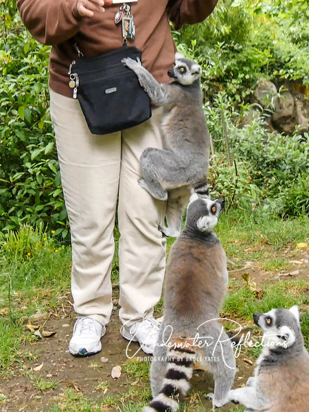 """This lemur got a """"leg up"""" on the competition when Judy had a slice of corn on the cob!  Ashley made it clear that we were not to pet or otherwise initiate contact, and we were careful not to."""