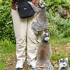 "This lemur got a ""leg up"" on the competition when Judy had a slice of corn on the cob!  Ashley made it clear that we were not to pet or otherwise initiate contact, and we were careful not to."