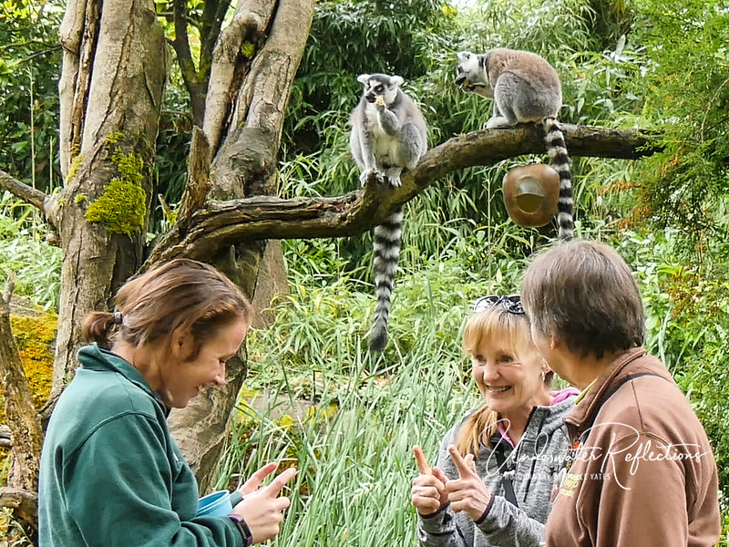 Cheri asked how big lemurs are when born, and Ashley said they come out looking exactly like adults, but only a few inches long!