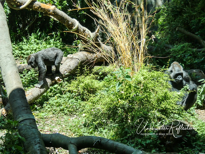 In a separate enclosure from the big old male, baby gorilla Yola (left) and her mother, Nadiri (right). Yola, born here at WPZ, is about 2 1/2 years old now, and seems every bid the curious toddler...
