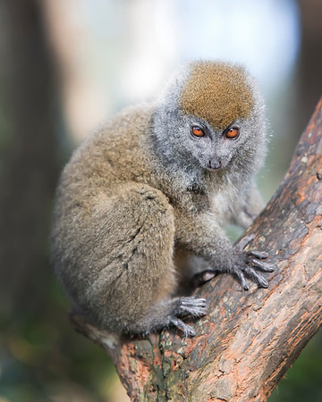 This photograph of a Eastern Grey Bamboo Lemur was captured in Andasibe-Mantadia National Park in Madagascar, Africa (9/15). This photograph is protected by International and U.S. Copyright Laws and shall not to be downloaded or reproduced by any means without the formal written permission of Ken Conger Photography.