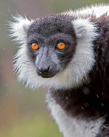 This photograph of a Black & White Ruffed Lemur was captured in Berenty Reserve in Madagascar, Africa (9/15). This photograph is protected by International and U.S. Copyright Laws and shall not to be downloaded or reproduced by any means without the formal written permission of Ken Conger Photography.
