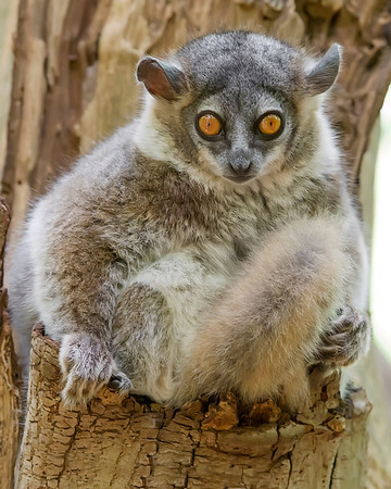 This photograph of a White-fronted Sportive Lemur was captured in Berenty  Reserve in Madagascar, Africa (9/15). This photograph is protected by International and U.S. Copyright Laws and shall not to be downloaded or reproduced by any means without the formal written permission of Ken Conger Photography.