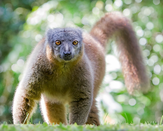 This photograph of a Collared Brown Lemur was captured in Nahampoana Reserve in Madagascar, Africa (9/15). This photograph is protected by International and U.S. Copyright Laws and shall not to be downloaded or reproduced by any means without the formal written permission of Ken Conger Photography.