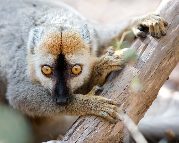 This photograph of a Red-fronted Brown Lemur was captured in Andasibe-Mantadia National Park in Madagascar, Africa (9/15). This photograph is protected by International and U.S. Copyright Laws and shall not to be downloaded or reproduced by any means without the formal written permission of Ken Conger Photography.
