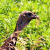Turkey hen, Lenoir Preserve, Yonkers