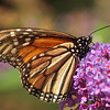 Monarch Butterfly, Lenoir Preserve, 9/9/11