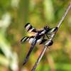 Twelve-spotted Skimmer, Lenoir Preserve, Yonkers