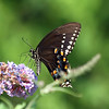 Black Swallowtail Butterfly, Lenoir Preserve