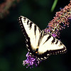 Eastern Tiger Swallowtail Butterfly, Lenoir Preserve, Yonkers