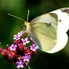 Cabbage White, Lenoir Reserve, 9/9/11