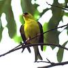 Goldfinch, Lenoir Preserve, Yonkers