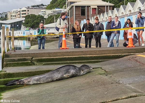 Leopard Seal in Wellington Harbour, 23 July 2019
