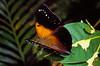 (Doleschallia melana) Yapen Island, Papua.