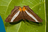 Papuan Mapwing Butterfly (Cyrestis acila) on Yapen Island, August 2009.