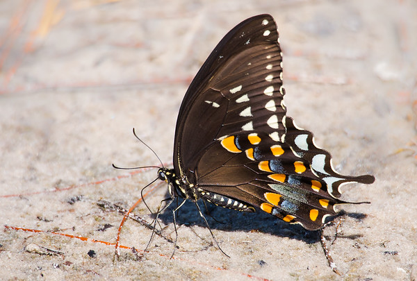 Spicebush Swallowtail Drawing Moisture from the Wet Sand