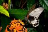 Great Mormon Butterfly (Papilio memnon sbsp. agenor) at Mount Batukaru, Bali, Indonesia, January, 2010.