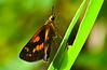 Hesperiidae sp01 001 YapenIs-Papua 2006-11