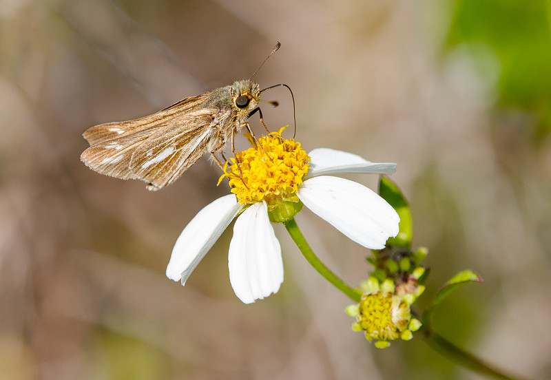 Salt Marsh Skipper (Panoquina panoquin) on Bidens alba