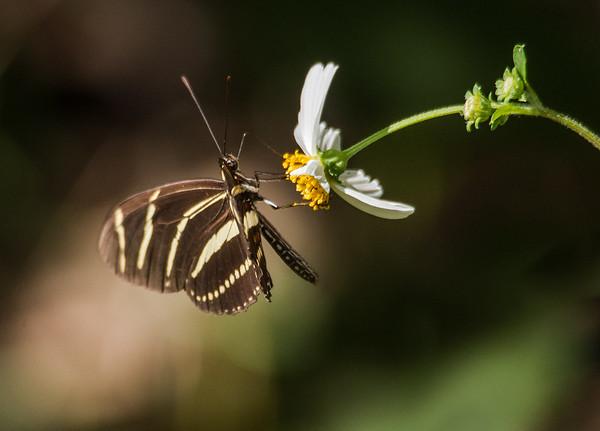 Zebra Heliconian on Bidens Alba